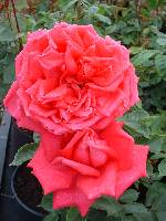 Rosa Wendy Cussons