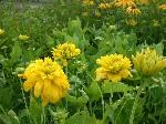 Rudbeckia Goldquelle