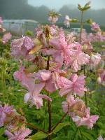 Saponaria officinalis Roseo Plena