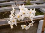 Solanum laxum Album