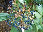 Viburnum davidii Female
