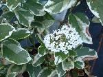 Viburnum tinus Bewleys Variegatum