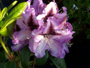 Rhododendron Blue Peter