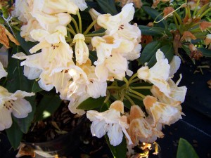 Rhododendron Tortoiseshell Champagne