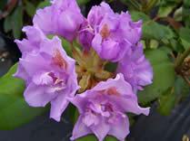 Rhododendron Fastuosum Flore Pleno