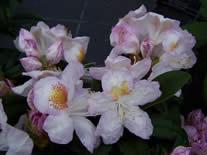 Rhododendron Mrs T Lowinsky
