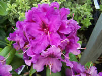 Rhododendron Purple Splendour
