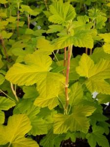 Ribes sanguineum Brockebankii