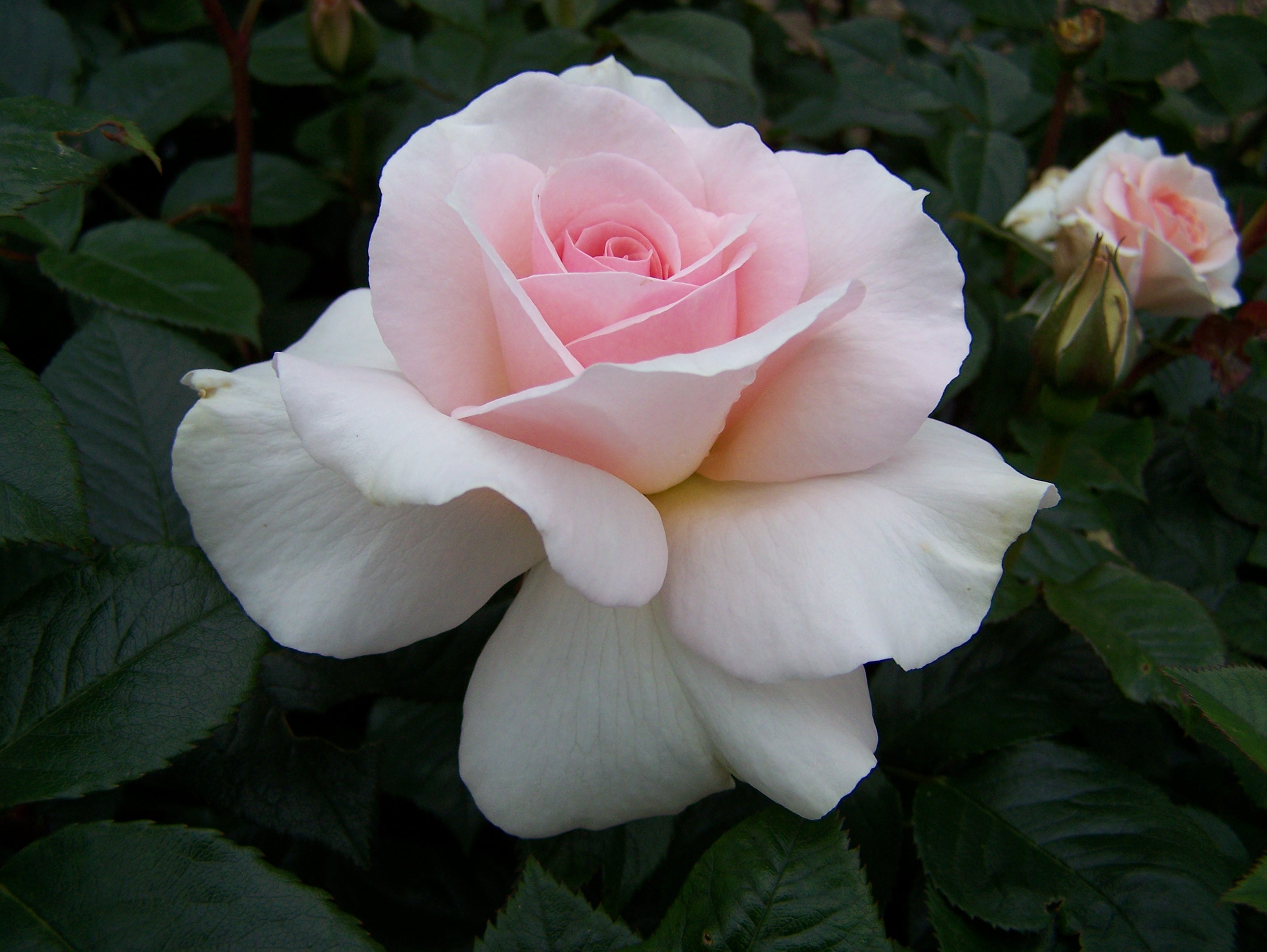 Hybrid Tea Rose For Sale By Mail Order From East Sussex