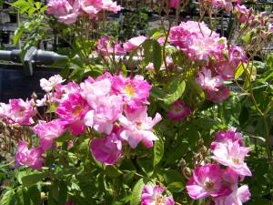 Rosa Blush Rambler 2
