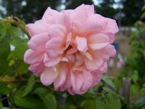 Rosa Deprez a fleuer Jaune