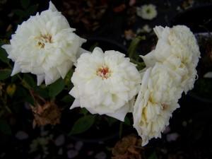 Rosa Easter Morning