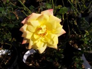 Rosa Estrellita do Oro