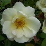 Rosa Fruhlingsgold
