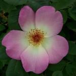 Rosa Fruhlingsmorgen