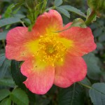 Rosa Lady Penzance