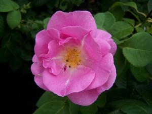 Rosa Lucky