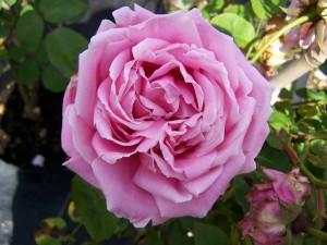 Rosa Mme Caroline Testout