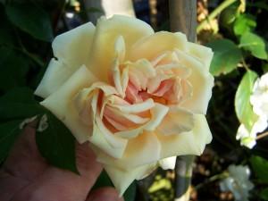 Rosa Reve d Or