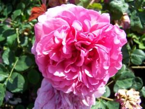 Rosa Shropshire Lass