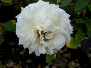Rosa Snow Sunblaze