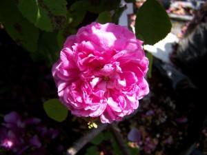 Rosa Soupert et Notting