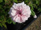 Rosa Bloomfield Abundance