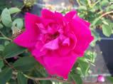 Rosa Cerise Bouquet