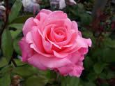 Rosa Congratulations