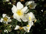 Rosa pimpinelifolia Dunwich Rose