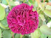Rosa Falstaff