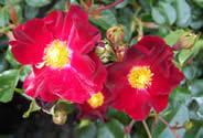 Rosa Flower Carpet Red Velvet