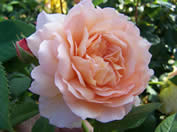 /Rosa Grace
