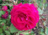 Rosa Gruss an Teplitz