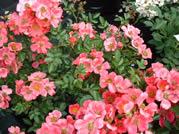Rosa Hertfordshire