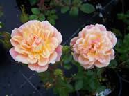 Rosa Honeybunch