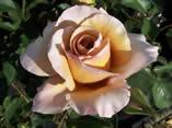 Rosa Julias Rose