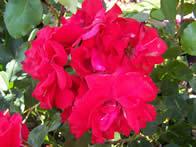 Rosa La Sevillana
