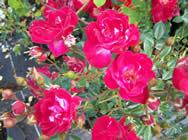 Rosa Little Buckeroo