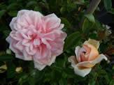 Rosa Mme Alice Garnie