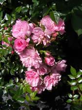 Rosa Pink Bells