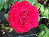 Rosa Precious Platinum