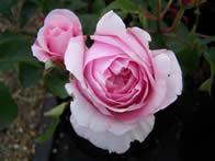 Rosa Pretty Jessica