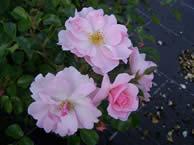 Rosa Queen Mother