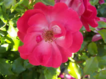 Rosa Red Blanket