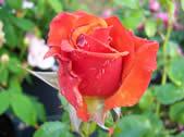 Rosa Remember Me