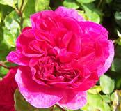 Rosa Sophys Rose
