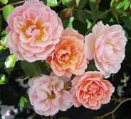 Rosa Sussex