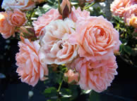 /Rosa Sweet Dream