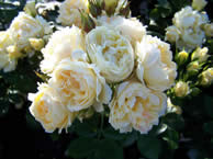 Miniature Patio And Standard Roses Available By Mail